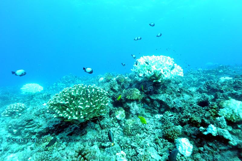 coral bleaching pyramidpinnacle3 110915mon