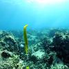 trumpetfish naiabay 111615mon