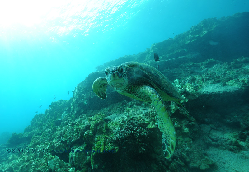 greenseaturtle turtleheaven4 112115sat