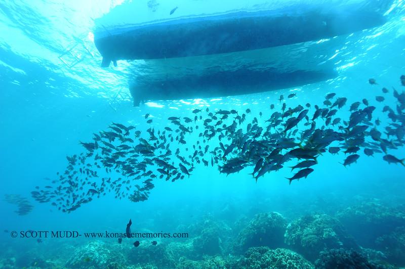yellowtailgoatfish naiabay 111615mon