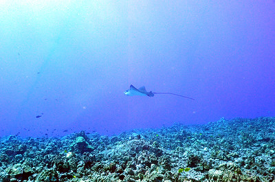 eagleray thunderreef 120815tues