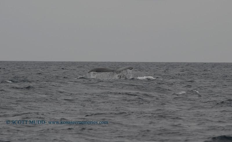 humpback whale (ザトウクジラ)
