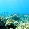 whitebar surgeonfish (スジクロハギ)
