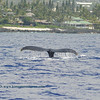 humpback whale tail (ザトウクジラの尻尾)
