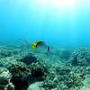 lined butterflyfish (ニセフライ)