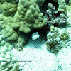 whitleys boxfish (クロハコフグ)