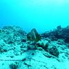 whitemouth moray (ハナビラウツボ)