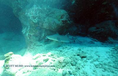 whitetip shark (ネムリブカ)