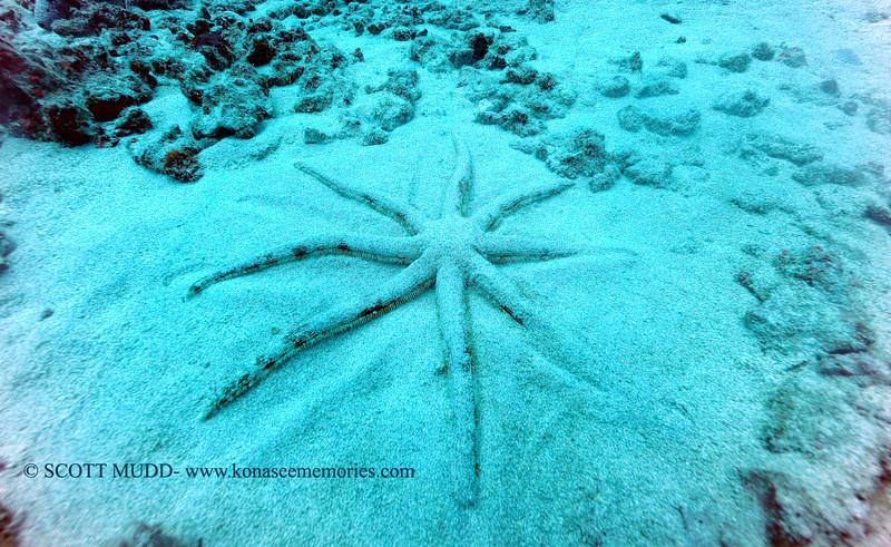 starfish (ヒトデ)