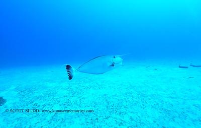 unicornfish (モンガラ)