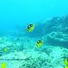 fourspotted butterflyfish (シテンチョウチョウウオ)