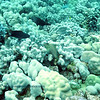 spotted coral blenny (セだかギンポ)