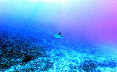eagle ray (マダラトビエイ)