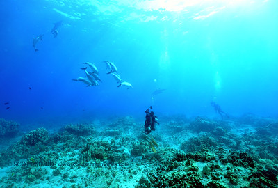 diver and spinner dolphins (ダイバーとハシナガイルカ達)
