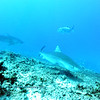 tiger sharks (イタチザメ達)