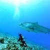 diver and tiger shark (ダイバーとイタチザメ)