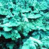 titan scorpionfish (チタンオコゼ)