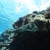 giant porcupinefish (ハリセンボン)