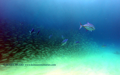 bigeye scad and blue trevally (メアジとカスミアジ)
