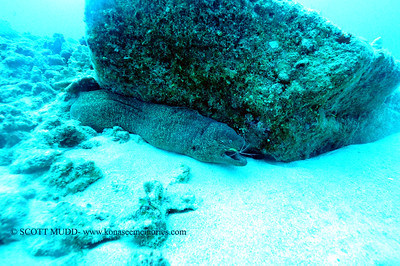 moray eel (ウツボ)