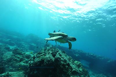 greenseaturtle turtleheaven 100416tues