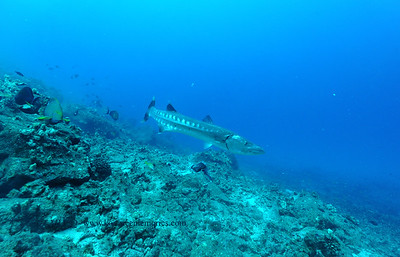 greatbarracuda naiabay5 110116tues