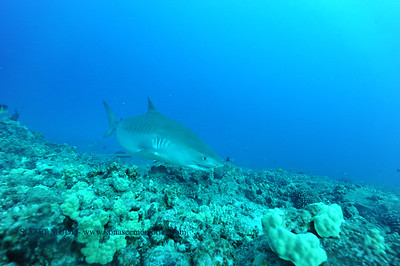 tigershark naiabay34 110116tues