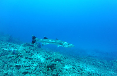 greatbarracuda naiabay3 110116tues