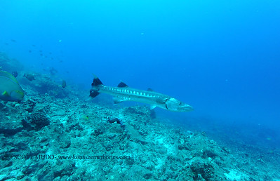 greatbarracuda naiabay4 110116tues