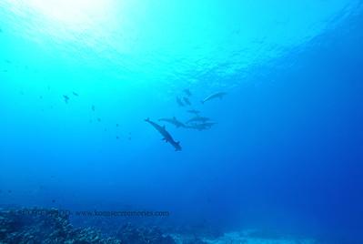 spinnerdolphin naiabay6 120116thurs