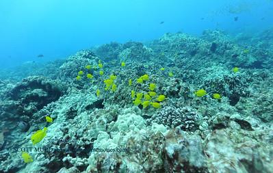 yellowtangs naiabay2 120116thurs