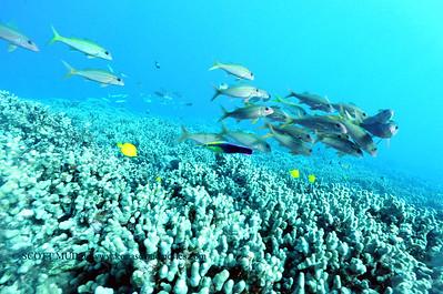 hawaiiancleanerwrasse naiabay3 120316sat