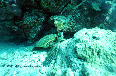 greenseaturtle turtleheaven2 031516tues