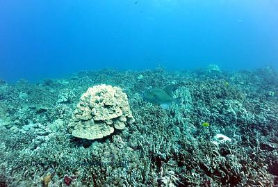 triggerfish kamanu 050616fri