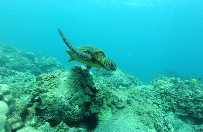 greenseaturtle2 turtleheaven 061316mon