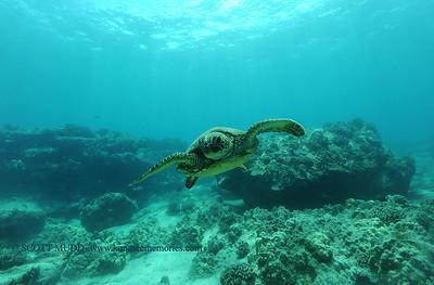 greenseaturtle5 turtleheaven 060516sun
