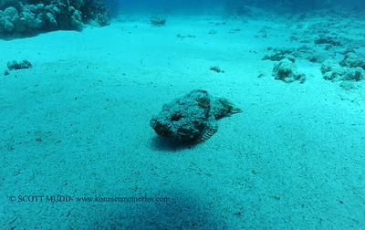 devilscorpionfish4 turtleheaven 060516sun