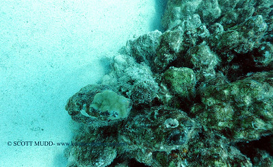 devilscorpionfish2 turtleheaven 060516sun
