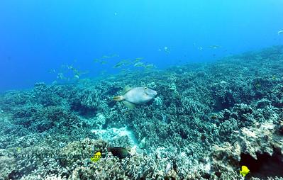 triggerfish naiabay 070816fri