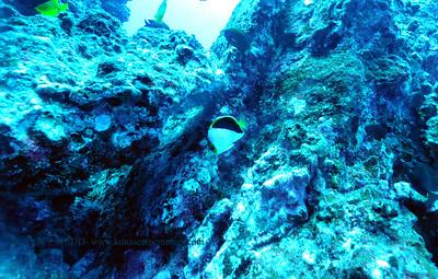 tinkersbutterflyfish ridges 070716thurs