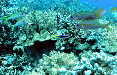 hawaiiancleanerwrasse naiabay 070816fri