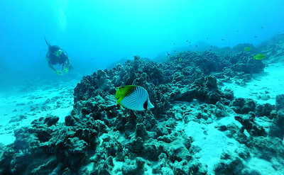 threadfinbutterflyfish turtleheaven 080216tues
