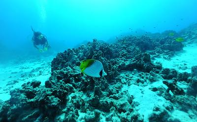 threadfinbutterflyfish turtleheaven 080216tues