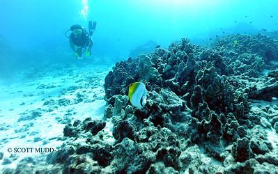 threadfinbutterflyfish2 turtleheaven 080216tues