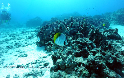 threadfinbutterflyfish3 turtleheaven 080216tues
