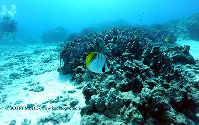 threadfinbutterflyfish3 turtleheaven 080216tues