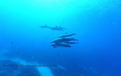 spinnerdolphins greencan2 082716sat