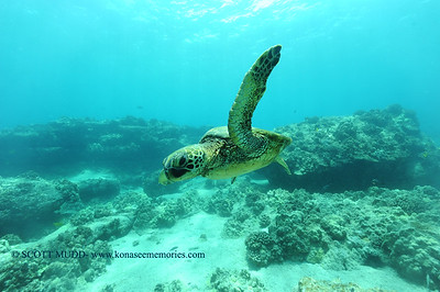 greenseaturtle3 turtleheaven 060516sun