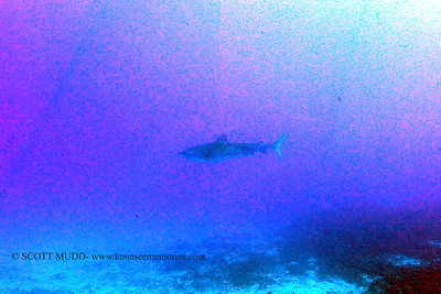 tiger shark naiabay6 100517thurs