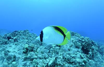 lemonbutterflyfish turtleheaven7 112717tues